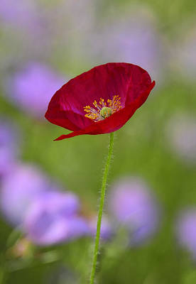 Single Red Poppy  Print by Saija  Lehtonen