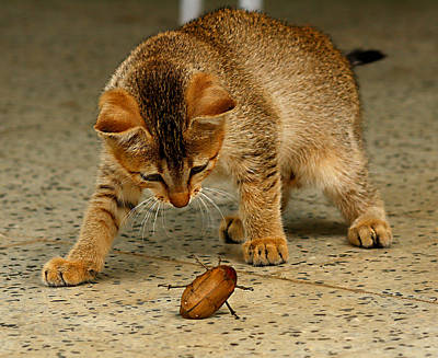 Beetle Cat Photograph - Size Of The Beetle In The Fight Or The Size Of The Fight In The Beetle by Greeshma Manari