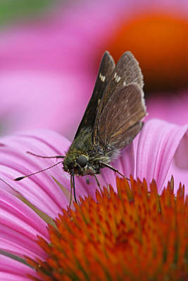 Skipper Moth Macro Photography Print by Juergen Roth