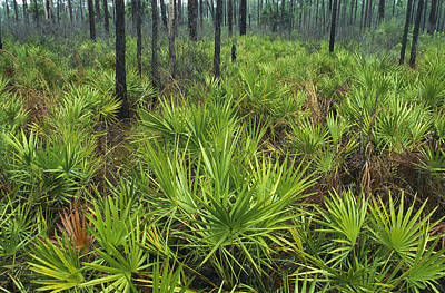 Palmetto Plants Photograph - Slash Pines And Saw Palmettos by Klaus Nigge