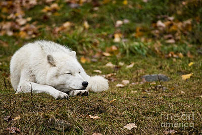 Arctic Wolf Photograph - Sleeping Arctic Wolf by Michael Cummings