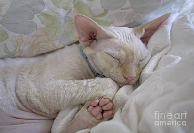 Purebred Digital Art - Sleepy Kitty by Glennis Siverson
