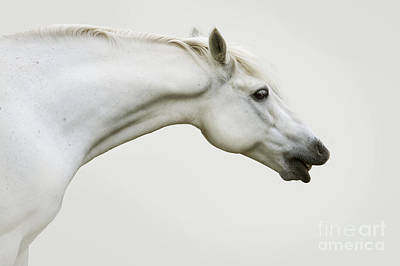 Smiling Grey Pony Print by Ethiriel  Photography