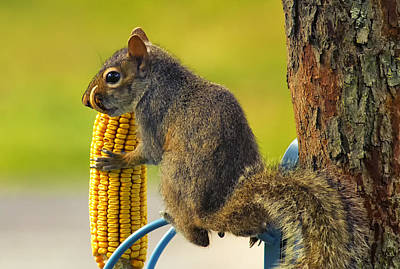 Snaggletooth Squirrel With Corn Print by Bill Tiepelman