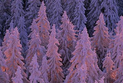 Snow Blanketed Fir Trees In Germanys Print by Norbert Rosing