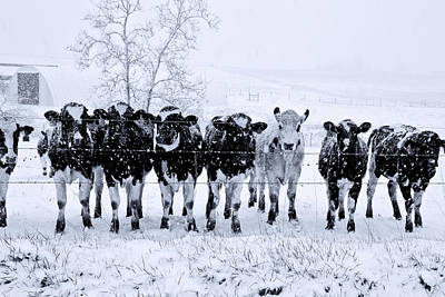 Snow Covered Cows 2 Original by John Radosevich