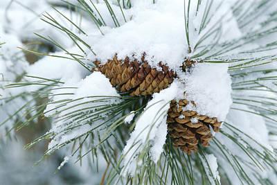 Snow Covers A Bundle Of Pine Needles Print by Rich Reid