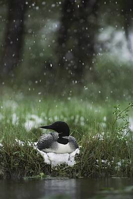 Snow Falls On A Loon Incubating Print by Michael S. Quinton