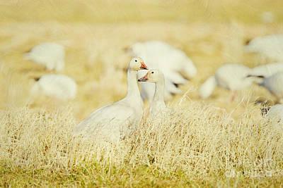 Bono Digital Art - Snow Geese At The Salton Sea by Susan Gary