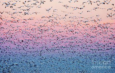 Snow Geese Liftoff Print by Susan Isakson