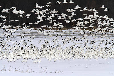 Snow Geese Standing On A Snow-covered Print by Philippe Henry