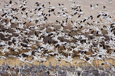 Snow Geese Taking Flight With Sandhill Print by Sebastian Kennerknecht