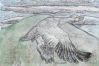 Snow Goose In Flight Using Quill Pens And Ink With Watercolor Washes. Print by John A Fowler