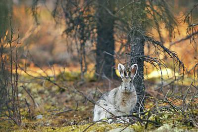 Snowshoe Hare Print by Rick Berk