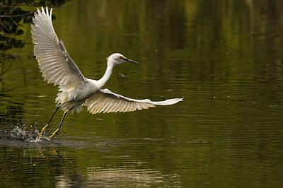 Snowy Egret Fishing In Florida Print by Robert Postma