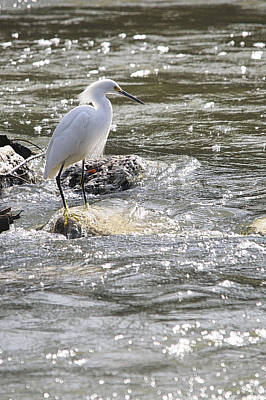 Snowy Egret Hunting Print by Roy Williams