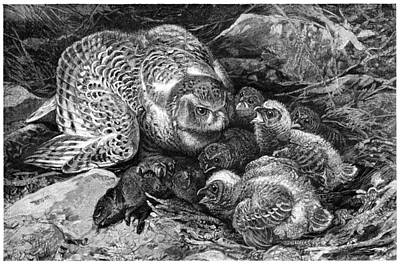 Snowy Owl And Chicks, 19th Century Print by