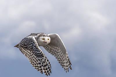Snowy Owl In Flight Print by Ian Stotesbury