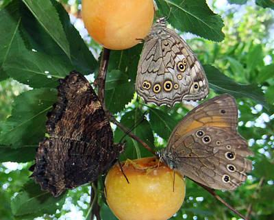 Lepidopterans Photograph - Something Fruity  by Eric Kempson