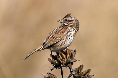 Beauty Mark Photograph - Song Sparrow by Rich Leighton