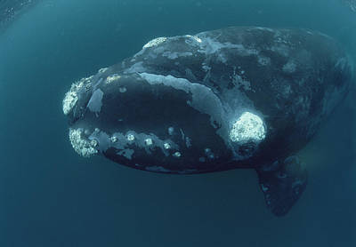 Valdes Photograph - Southern Right Whale Under Boat by Flip Nicklin