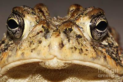 Southern Toad Close Up Print by Lynda Dawson-Youngclaus