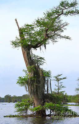 Spanish Moss On Bald Cypress Tree In The Atchafalaya Swamp Print by Louise Heusinkveld