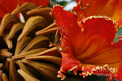 Spathodea Campanulata - African Tulip Tree - Flame Of The Forest Print by Sharon Mau