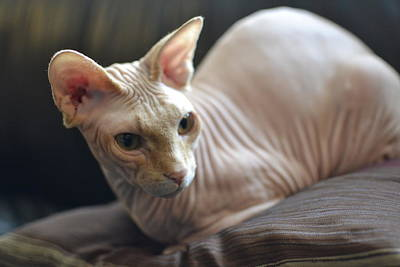Hairless Cat Photograph - Sphynx At Rest by Fraida Gutovich