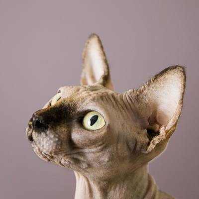 Hairless Cat Photograph - Sphynx Cat by Claire Bock