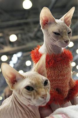 Hairless Cat Photograph - Sphynx Cats by Ria Novosti