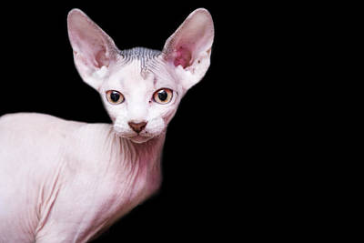 Sphynx Kitten Sweet Cute Hairless Pet Cat Print by Alper Tunc