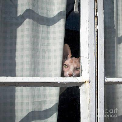 Sphynx Peeks 'round The Curtain Print by Glennis Siverson