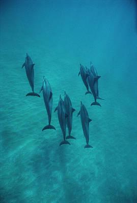 Spinner Dolphin Group Underwater Bahamas Print by Flip Nicklin