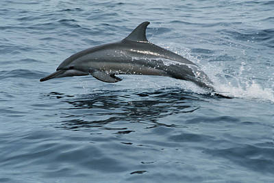 Spinner Dolphin Stenella Longirostris Print by Mike Parry