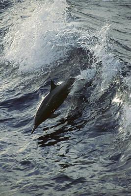 Spinner Dolphin Stenella Longirostris Print by Tui De Roy