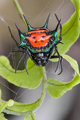 Piotr Naskrecki Photograph - Spinybacked Orbweaver Spider Solomon by Piotr Naskrecki