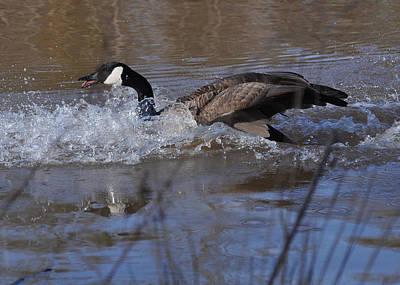 Eggs Photograph - Splash Down Canada Goose - C0235a by Paul Lyndon Phillips