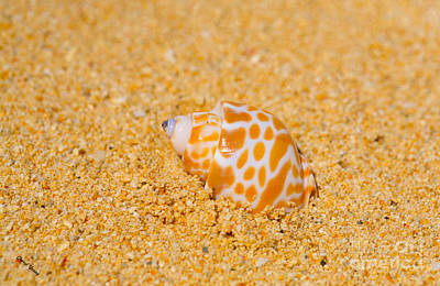 Spotted Babylon Shell Print by Cheryl Young