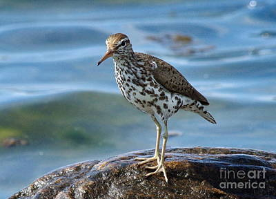 Spotted Sand Piper 6 Print by Andrea Kollo