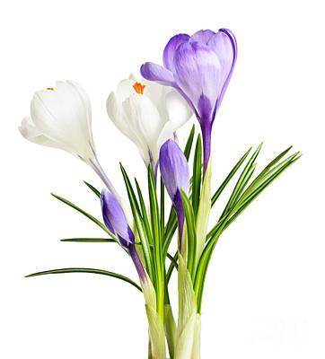 Spring Crocus Flowers Print by Elena Elisseeva