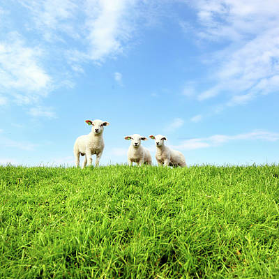 Spring Lambs Print by MarcelTB