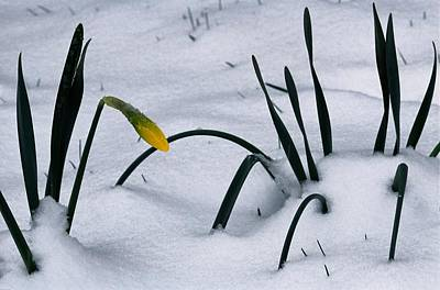 Spring Snow Coats The Daffodils Print by George F. Mobley