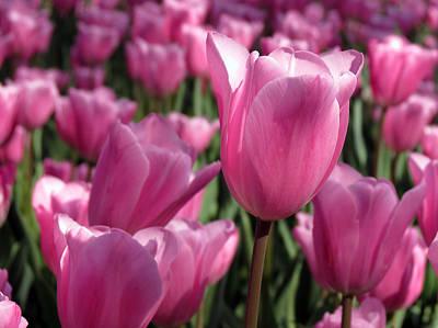 Springtime Impression Tulips Print by Darleen Stry