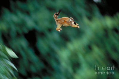 Squirrel Monkey Leaping With Young Print by Gregory G. Dimijian