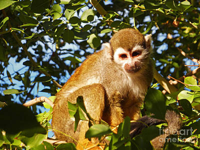 Squirrel Monkey Print by Methune Hively