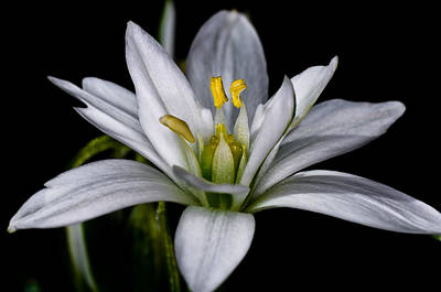 Star Of Bethlehem Print by Lori Coleman