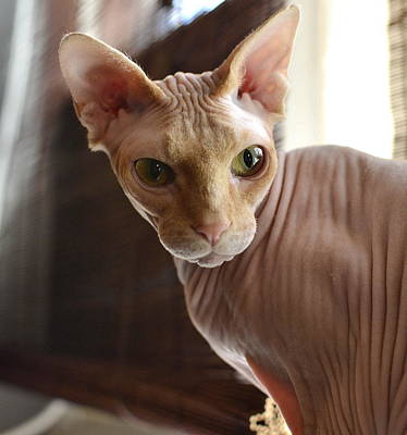 Hairless Cat Photograph - Staring Sphynx by Fraida Gutovich