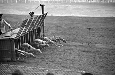 Greyhound Photograph - Start Of Race by Kurt Hutton