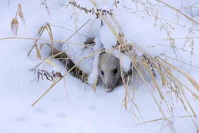 Possum Photograph - Staying Warm by Ron Jones
